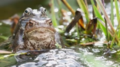 Two Common Frogs Mating Surrounded by Frog Spawn Stock Footage