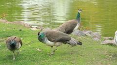 Peacock feeding near the water Stock Footage