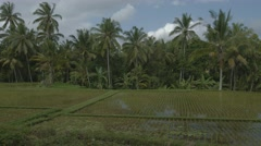 Coconut pams over a lowland rice paddy on a farm in Bali, Indonesia. Stock Footage