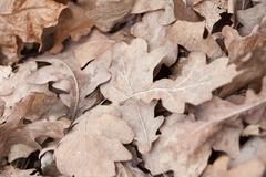 Fallen oak leaves, macro photo Stock Photos