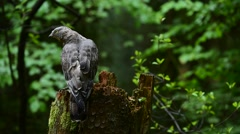 European honey buzzard perched on tree stump in forest and defecating Stock Footage