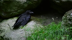 Common raven / northern raven (Corvus corax) calling - stock footage
