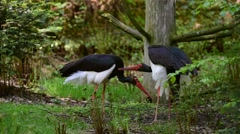 Black stork (Ciconia nigra) couple courting in forest - stock footage