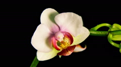 Time Lapse - Blooming Flower Phalaenopsis Orchid Arkistovideo