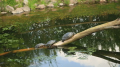 Turtles  sunbathing on a dead branch in the water Stock Footage