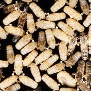 Anopheles dirus mosquito pupae - stock photo