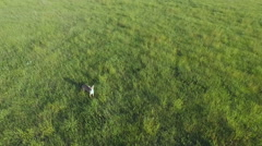 Coyote in Green Field/Pasture Aerial Stock Footage
