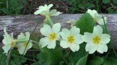 Primroses spring bloom Stock Footage