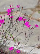 flowers bright purple-pink wild carnation - stock photo