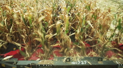 Harvesting sweet corn. View from the cab of the combine harvester - stock footage