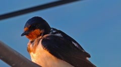 Closeup of swallow bird on wire cleaning feathers Stock Footage