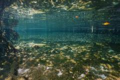 Shallow water in the mangrove with shoal of fish - stock photo