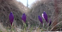 Spring Purple Crocus in Grass With Morning Light Stock Footage