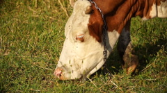 Domestic Cattle Grazing Close Up - On Camera Stock Footage