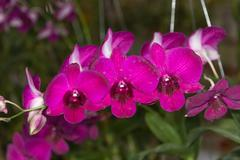 orchid - beautiful orchid field,sensitive focus - stock photo