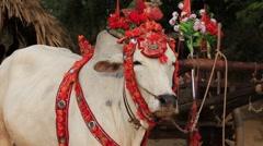Decorated buffalo. Bagan, Myanmar, Burma. Close up Stock Footage