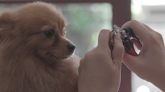 Nail-clipping a Pomeranian dog Stock Footage