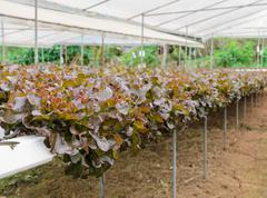 Hydroponic red oak leaf lettuce plantation Stock Photos