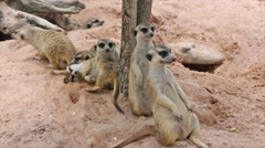 Family of meerkat sit on the floor Stock Footage