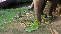 Elephant Eating - stock footage