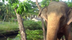 Elephant in the Tropics - stock footage