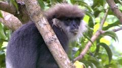 Eastern Black And White Colobus Monkey Eating Mango - stock footage