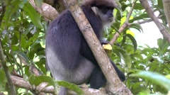 Eastern Black And White Colobus Monkey Eating Mango in the Rain Stock Footage