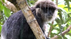 Eastern Black And White Colobus Monkey in the Heavy Rain Stock Footage