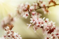 Cherry Blossom. Sakura in Springtime Stock Photos