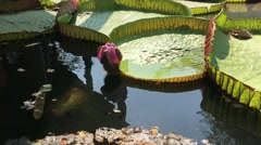 Giant water lily in Ancient Siam Bangkok Stock Footage