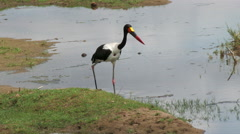 Saddle-Billed Stork in shallow water Stock Footage