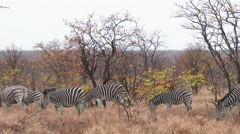 Plains Zebra herd grazing Stock Footage