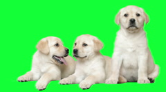 Three labrador puppy on the green screen Stock Footage