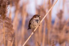 Young male sparrow (Passer domesticus) in reed Stock Photos