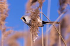 Bearded tit on the reed, male - stock photo