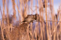 Young female sparrow (Passer domesticus) in reed - stock photo