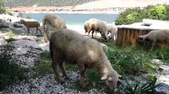 Flock of sheep browses at the sea coast Stock Footage