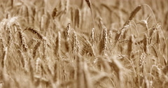 Close-Up Of Golden Cereal Slowly Waving In The Wind Breeze Stock Footage