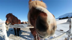 Friendly funny Icelandic horses extreme closeup fish eye lens winter sunny day Stock Footage