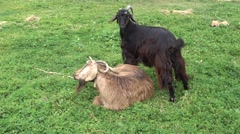 Two goats with long horns Stock Footage