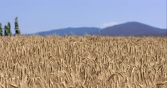 Golden Wheat Fields Landscape Shot With Mountains In The Back Stock Footage