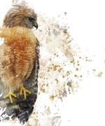 Red Shouldered Hawk Watercolor Stock Illustration
