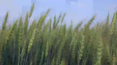 Field of green and aged wheat - stock footage