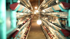 Chicken Farm, Poultry Stock Footage