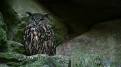 Eurasian eagle owl (Bubo bubo) sitting on rock ledge in cliff face Stock Footage