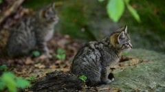 Two European wild cat kittens in forest Stock Footage