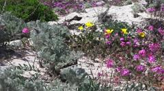 Asilomar ,California State Parks, sand dunes restoration Stock Footage