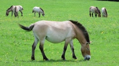 Herd of Przewalski horses neighing and grazing in grassland - stock footage