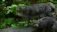 European wild cat walking over tree trunk with two kittens in forest - stock footage