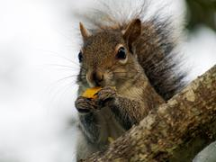 Eastern Gray Squirrel Eating An Acorn Stock Photos
